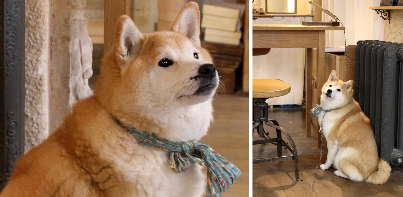 パリの柴犬、ポンポン!